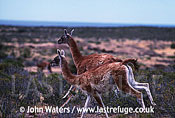 Guanacos (Lama guanicoe), two adults running across steppe landscape, Patagonia, Argentina, South America