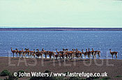 Guanacos (Lama guanicoe), herd on gravel ridge, sea background, Patagonia, Argentina, South America