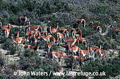 Guanacos (Lama guanicoe),big herd, among shrubby bushes, Patagonia, Argentina, South America
