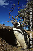 Magellan Penguin (Spheniscus magellanicus) : adult male, standing outside burrow, Punta Tombo, Patagonia, Argentina, South America