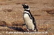 Magellan Penguin (Spheniscus magellanicus) : lone adult, standing near burrow, Punta Tombo, Patagonia, Argentina, South America