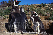 Magellan Penguins (Spheniscus magellanicus) : adult pair with two large chicks, Punta Tombo, Patagonia, Argentina, South America