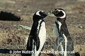 Magellan Penguins (Spheniscus magellanicus) : adult pair, bill duelling, courtship display, Punta Tombo, Patagonia, Argentina, South America