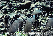Magellan Penguins (Spheniscus magellanicus) : several adults, at water's edge, rock pool background, Punta Tombo, Patagonia, Argentina, South America