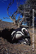 Magellan Penguin (Spheniscus magellanicus) : adult pair resting at burrow entrance, Punta Tombo, Patagonia, Argentina, South America