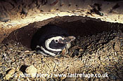 Magellan Penguin (Spheniscus magellanicus) : male, incubating eggs, inside burrow, Punta Tombo, Patagonia, Argentina, South America