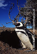Magellan Penguin (Spheniscus magellanicus) : adult pair, standing outside burrow, Punta Tombo, Patagonia, Argentina, South America