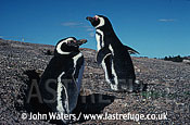 Magellan Penguins (Spheniscus magellanicus) : adult pair, standing outside burrow, Punta Tombo, Patagonia, Argentina, South America