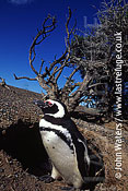 Magellan Penguin (Spheniscus magellanicus), adult stands at entrance to burrow, Patagonia, Argentina, South America