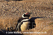 Magellan Penguin (Spheniscus magellanicus) : Single adult, looking out of nest burrow, Patagonia, Argentina, South America