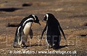 Magellan Penguins (Spheniscus magellanicus) : pair, courtship posture, Patagonia, Argentina, South America