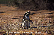 Magellan Penguins (Spheniscus magellanicus) : pair, courtship embrace, Patagonia, Argentina, South America