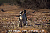 Magellan Penguins: pair courtship display, bill duelling (Spheniscus magellanicus), Patagonia, Argentina, South America
