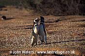 Magellan Penguins: pair courtship display, bill duelling (Spheniscus magellanicus), Patagonia, Argentina, South America
