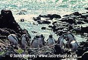 Magellanic Penguins (Spheniscus magellanicus) : Several adults, preening, rocky shore, sea background, Punta Tombo, Patagonia, Argentina, South America