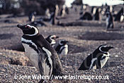 Magellanic Penguins (Spheniscus magellanicus) : Several adults, guarding nest burrows, gravelly ground, Punta Tombo, Patagonia, Argentina, South America