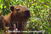 Young Capybara (Hydrochaeris hydrochaeris), Ibera Marshes, Prov. Corrientes, North-East Argentina