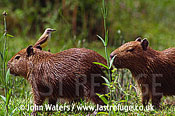 Capybara (Hydrochaeris hydrochaeris) with cattle tyrant, Ibera Marshes, North-East Argentina, Argentina