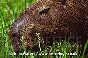 Capybara (Hydrochaeris hydrochaeris) feeding, Ibera Marshes, North-East Argentina, Argentina