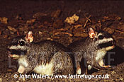 Lagostomus maximus Viscacha: tTwo adults, at entrance to burrow, night, North-East Argentina, Argentina