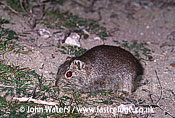 Southern Mountain Cavy (Microcavia australis): Adult feeding on sparse grasses on sand, dusk, Peninsula Valdez, , Patagonia, Argentina