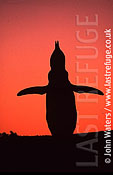Magellan Penguin (Spheniscus magellanicus) : adult calling (braying) for mate, sunset silouhette, Punta Tombo, Patagonia, Argentina, South America