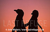 Magellan Penguins (Spheniscus magellanicus) : male and female courtship, sunset silouhette, Punta Tombo, Patagonia, Argentina, South America