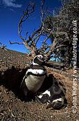Magellan Penguins (Spheniscus magellanicus) : adult pair at burrow entrance, Punta Tombo, Patagonia, Argentina, South America