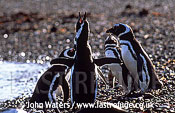 Magellan Penguins (Spheniscus magellanicus) : adults at water's edge, one doing mating call, Punta Tombo, Patagonia, Argentina, South America