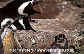 Magellan Penguins (Spheniscus magellanicus) : adult pair duetting near half-grown chick, Punta Tombo, Patagonia, Argentina, South America