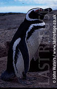 Magellan Penguin (Spheniscus magellanicus) : adult male standing at entrance to burrow, Punta Tombo, Patagonia, Argentina, South America