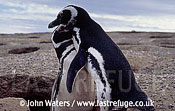 Magellan Penguins (Spheniscus magellanicus) : adult pair, courtship dance, Punta Tombo, Patagonia, Argentina, South America