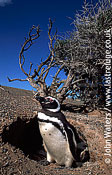 Magellan Penguin (Spheniscus magellanicus) : adult standing at entrance to burrow, Punta Tombo, Patagonia, Argentina, South America