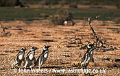 Magellan Penguins (Spheniscus magellanicus) : four adults walking left to right through penguin colony, Punta Tombo, Patagonia, Argentina, South America