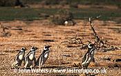 Magellan Penguins (Spheniscus magellanicus) : four adults walking left to right through penguin colony, Punta Tombo, Patagonia, Argentina, South America