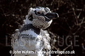 Magellan Penguin (Spheniscus magellanicus) : adult standing, undergoing first year moult, Punta Tombo, Patagonia, Argentina, South America