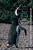Magellan Penguin (Spheniscus magellanicus) : wider shot, adult female, courtship call, Punta Tombo, Patagonia, Argentina, South America