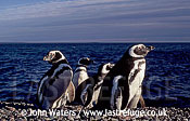 Magellan Penguins (Spheniscus magellanicus) : several adults on gravel ridge, sea background, Punta Tombo, Patagonia, Argentina, South America