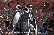 Magellan Penguins (Spheniscus magellanicus) : three adults, just emerged from water, background rocky, Punta Tombo, Patagonia, Argentina, South America