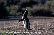 Magellan Penguin (Spheniscus magellanicus) : wide shot, lone adult courtship call, gravel foreground, bushes background, Punta Tombo, Patagonia, Argentina, South America
