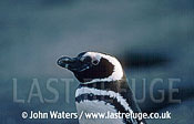 Magellan Penguin (Spheniscus magellanicus) : portrait of male penguin, Punta Tombo, Patagonia, Argentina, South America