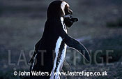 Magellan Penguin (Spheniscus magellanicus) : adult pair, courtship dance, Punta Tombo, Patagonia, Argentina, South America