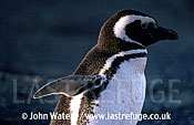 Magellan Penguin (Spheniscus magellanicus) : portrait adult, wing raised, Punta Tombo, Patagonia, Argentina, South America