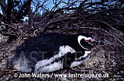 Magellan Penguin (Spheniscus magellanicus) : adult resting on ground under bush, Punta Tombo, Patagonia, Argentina, South America