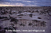 Magellan Penguins (Spheniscus magellanicus) : scenic, Penguins colony, many Penguins and holes, moonscape, Punta Tombo, Patagonia, Argentina, South America