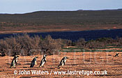 Magellan Penguins (Spheniscus magellanicus) : scenic, four adults in foreground walk left to right, Punta Tombo, Patagonia, Argentina, South America