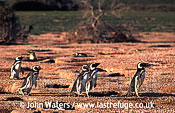 Magellan Penguins (Spheniscus magellanicus) : several adults, walking, standing near burrows, Punta Tombo, Patagonia, Argentina, South America