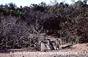 Magellan Penguins (Spheniscus magellanicus) : three adults walking among thorny bushes, Punta Tombo, Patagonia, Argentina, South America
