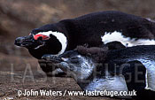 Magellan Penguins (Spheniscus magellanicus) : close-up, one large chick foreground, one adult background, resting on ground, Punta Tombo, Patagonia, Argentina, South America
