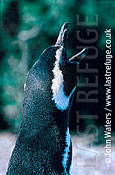 Magellan Penguin (Spheniscus magellanicus) : close up, adult , courtship call, Punta Tombo, Patagonia, Argentina, South America